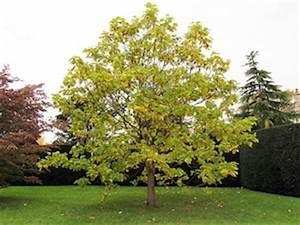 Arbre Ombre Croissance Rapide : arbre croissance entretien hauteur tout ~ Premium-room.com Idées de Décoration