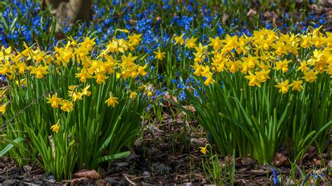 joe it s time to plant your daffodil bulbs