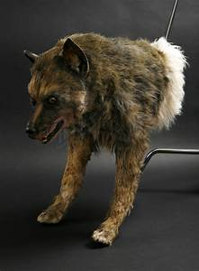Maugrim Wolf Puppet | Prop Store - Ultimate Movie Collectables