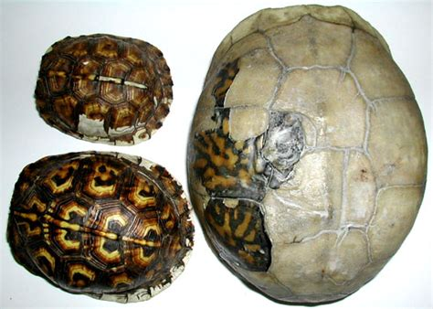 box turtle shell shedding biol 453 comparative vert anatomy amniote skin photos