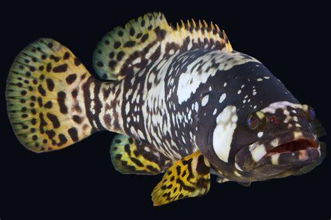 queensland grouper aquarium australia fish reef pacific animals waters warm updates animal october australian deep spiny turtles sea found nationalaquarium