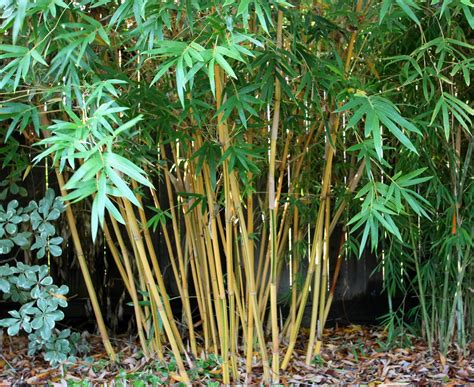bamboo varieties bamboo geek notes from a radio interview top seven clumping bamboo varieties to create a