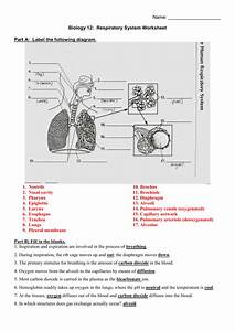 Blank Respiratory System Diagram Worksheet