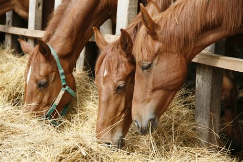 horses horse diet hay eating feeding race forage grass thoroughbred fresh facts source eat corral purebred grazing much portrait side