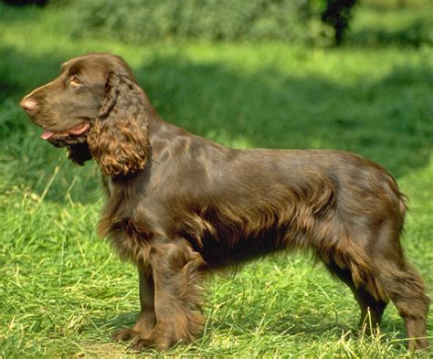 Do Boykin Spaniel Dogs Shed by Labor Day Update Neumeier