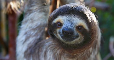 Sloth Images Dreaming Of Spending The Among Sloths This