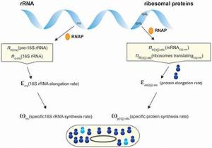 Scheme For The Synthesis Of Rrna And Ribosomal Proteins