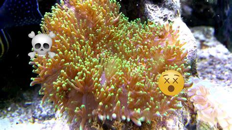 rhodactis mushroom corals  surprisingly deadly reefscom