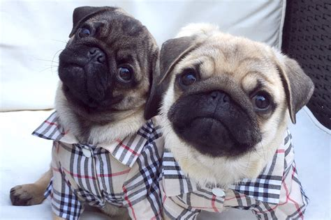 These Pugs Are Channeling Real Housewives Unleashed
