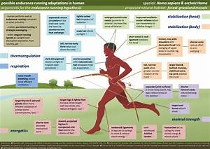 File:Human Running Adaptations.png - Wikimedia Commons