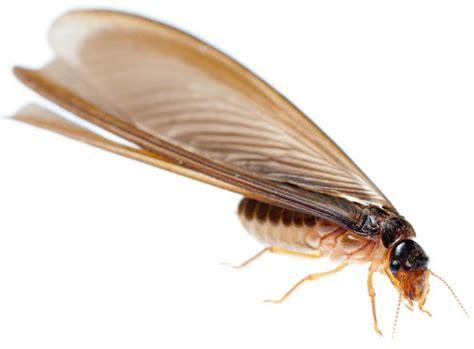 How To Get Rid Of Flying Termites (winged Termites)?. Print Business Cards Kinkos West Side Yard. Commercial Real Estate In New York City. Office Space For Rent New York City. Get Multiple Car Insurance Quotes. Panamericana School Of Art And Design. Moving Services Dallas Pls Loan Store Near Me. Free Access Membership Database. Debtwave Credit Counseling 300 Calorie Lunch