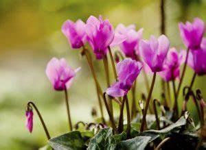 Alpenveilchen Im Garten : top 10 der beliebtesten gartenblumen ~ Orissabook.com Haus und Dekorationen