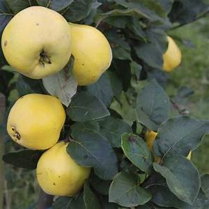 Vranja Quince Tree   Buy Quince Trees Online   Quality ...