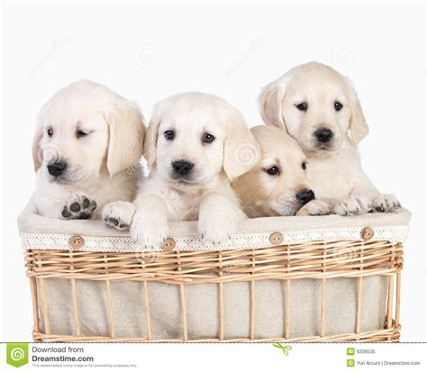 royalty  stock photo cute puppies  basket isolated