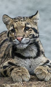 Pin on Felinidae--Clouded Leopards