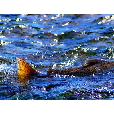 Why Did the Salmon Cross Road? - ThurstonTalk