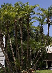 Big Specimen Phoenix reclinata Palm Trees For Sale | Huge ...