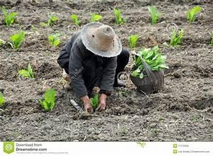 Pengzhou, China: Field Of Drying Rice Stalks Stock Image ...