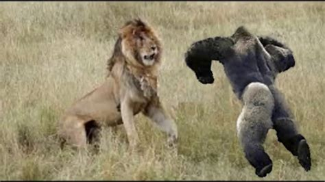 amazing wild animal attacks lion attack animal