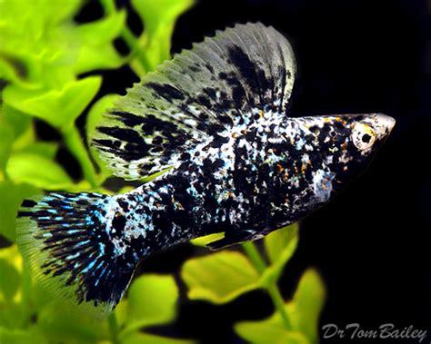 livebearers  sale aquariumfishnet