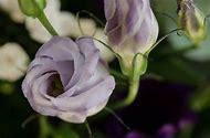 Purple Rose Free Downloads