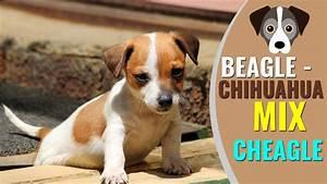 Beagle Chihuahua Mix Complete Info