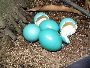 Gallery For > Cassowary Egg Color