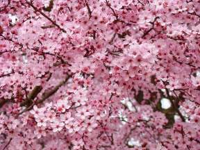 Trees with Pink Flower Blossoms in the Spring