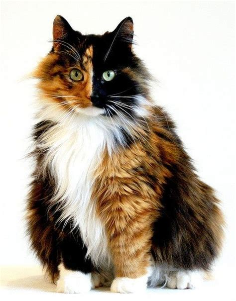 calico cats cat female chimera because kittens