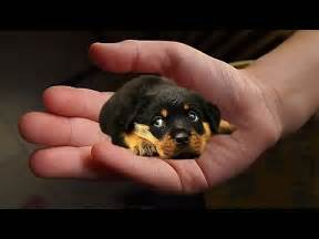 Puppies the Smallest Dog in the World