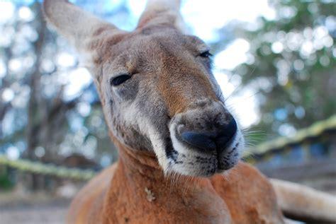 kangaroo marsupial horse zoo mammal vertebrate fauna wildlife pxhere domain