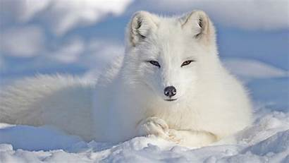Arctic Animals Fox Polarfuchs Vulpes Lagopus Facts