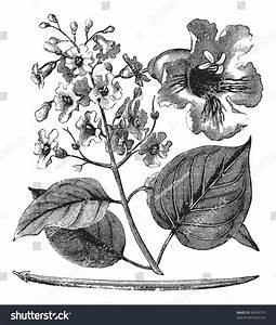 Catalpa Bignonioides Or Cigar Tree Vintage Engraving  Old