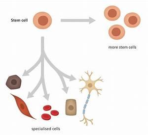 What Is A Stem Cell   U2013 Cbsebiology4u