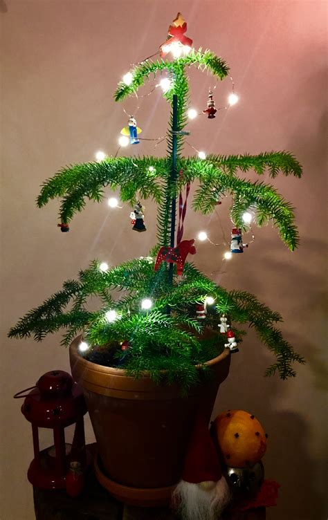 apartment size christmas tree growing a mini tree in your apartment apartment gardening apartment gardening