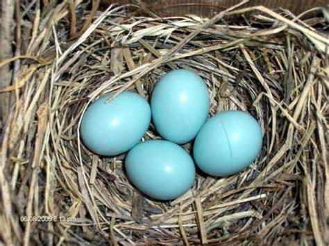 what color are bluebird eggs bluebird eggs