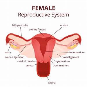 Fowl Reproductive System Diagram
