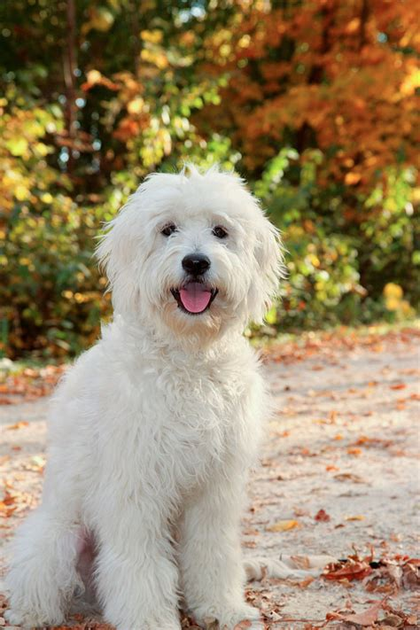 rosewood kennel breeder  top quality goldendoodle puppies