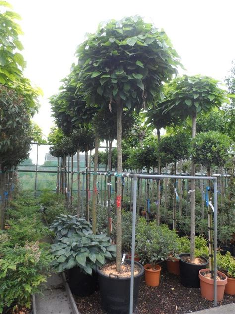 Laubbäume Garten Pflanzen by Catalpa Bignonioides Nana Kugel Trompetenbaum
