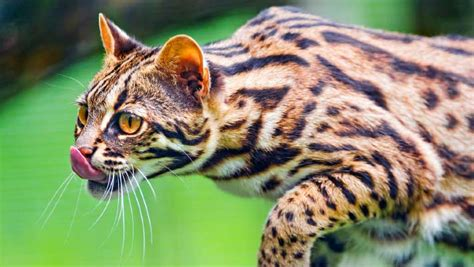 ancient chinese domesticated leopard cats  years