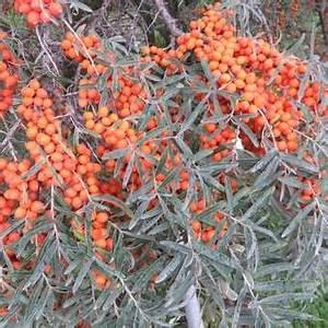 Sanddorn Pflanzen Kaufen : frucht sanddorn hippophae rhamnoides 39 leikora 39 ~ Watch28wear.com Haus und Dekorationen