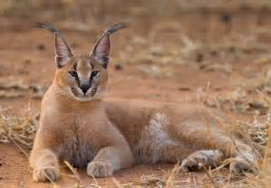 caracal cat wild4 photographic safaris september 2011 best
