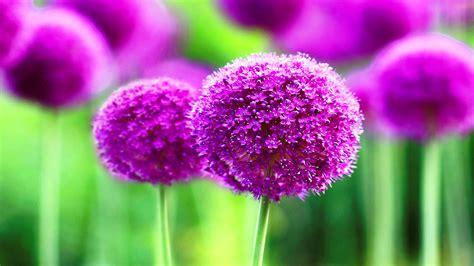 Purple cute flowers wide wallpapers - New hd wallpaperNew