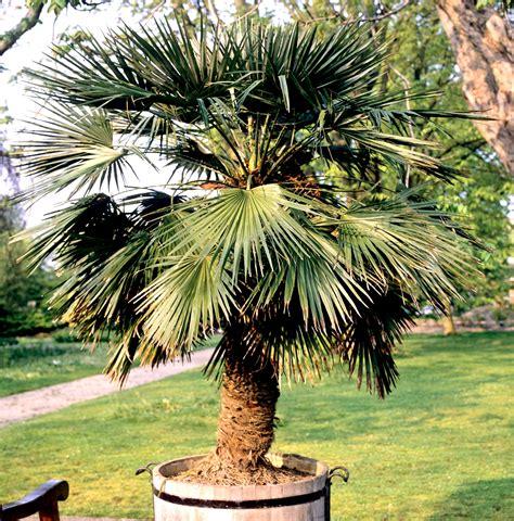 palmier chanvre en pot trachycarpus planter et cultiver ooreka