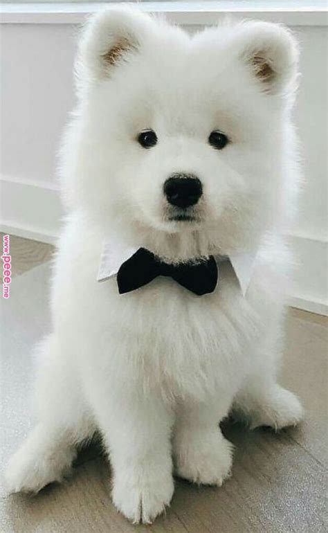 Samoyed Saturday Samoyed Dog Photos 10 13 18 34 Photos
