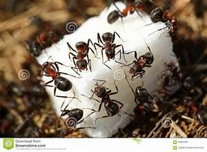 Was Essen Ameisen : formigas que comem o a car foto de stock imagem 56991301 ~ Lizthompson.info Haus und Dekorationen