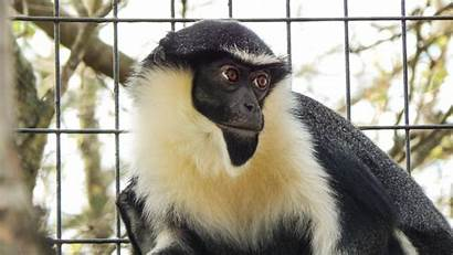 Monkey Diana Zoo Potawatomi