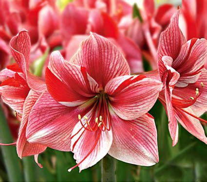 all amaryllis by variety white flower farm
