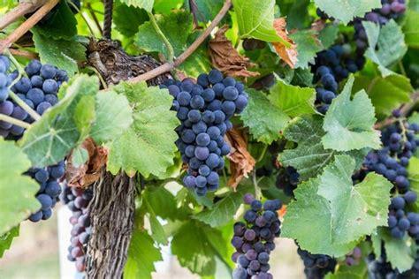 picture of grapes on a vine vitis labrusca concord grape vine