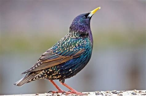 30 Best Starlings Images On Pinterest  Beautiful Birds